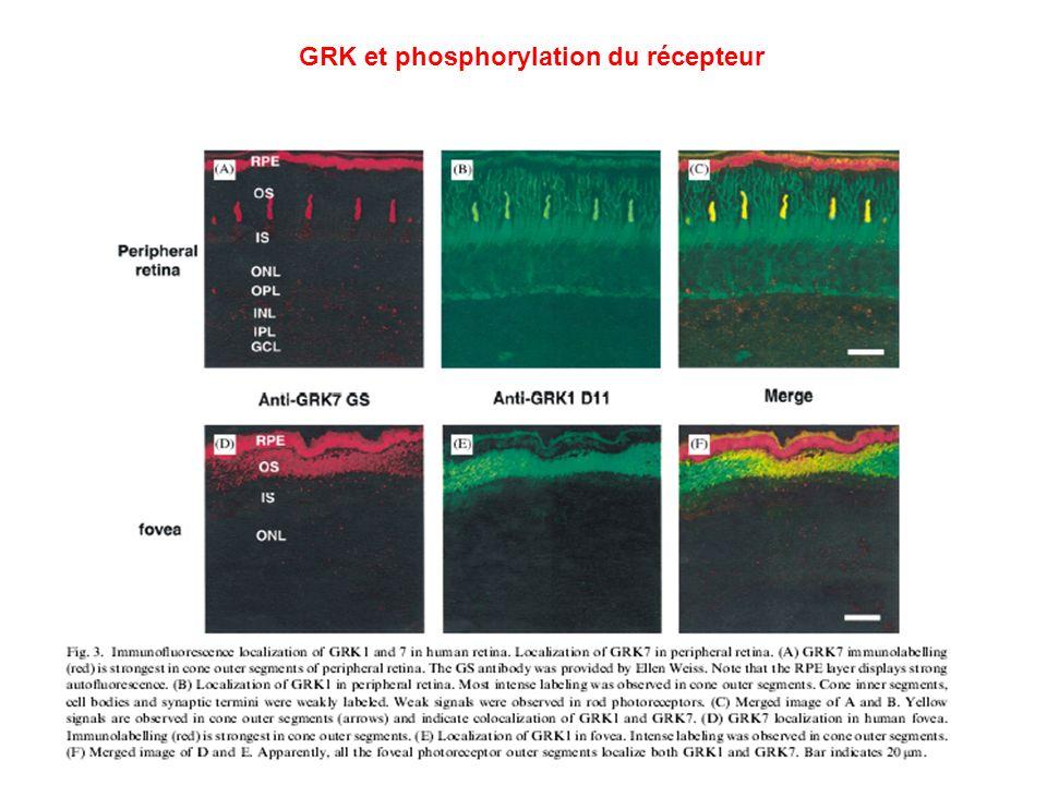 GRK et phosphorylation du récepteur