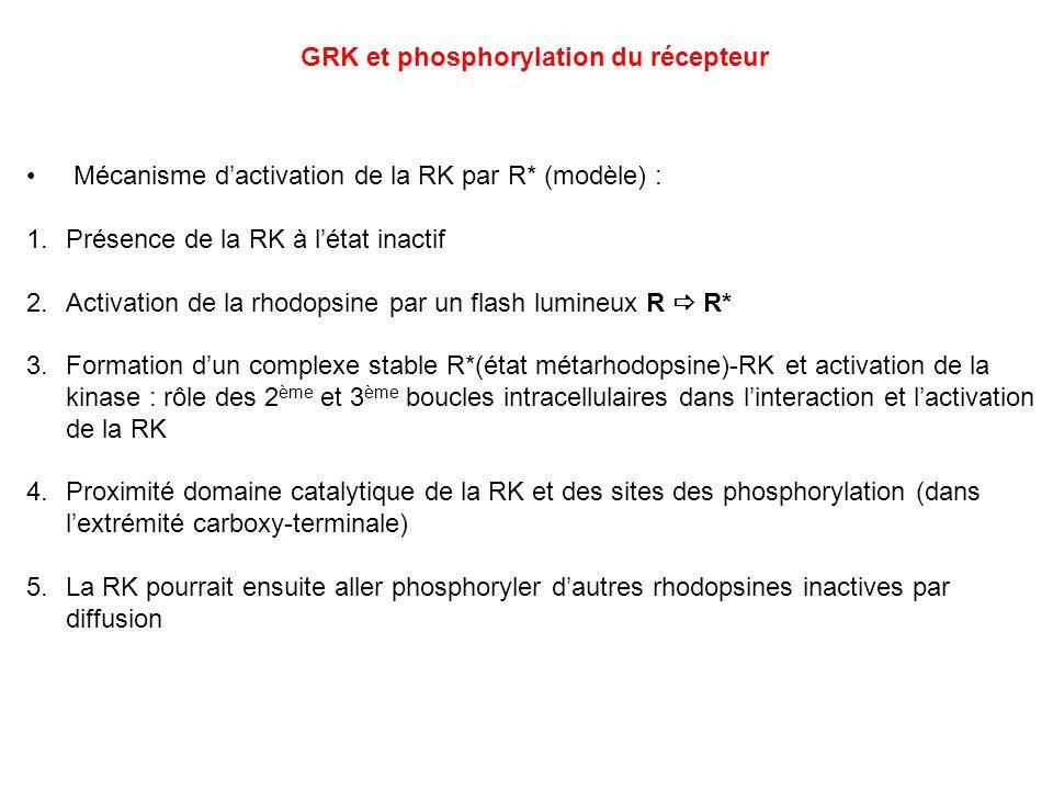 Mécanisme dactivation de la RK par R* (modèle) : 1.Présence de la RK à létat inactif 2.Activation de la rhodopsine par un flash lumineux R R* 3.Format