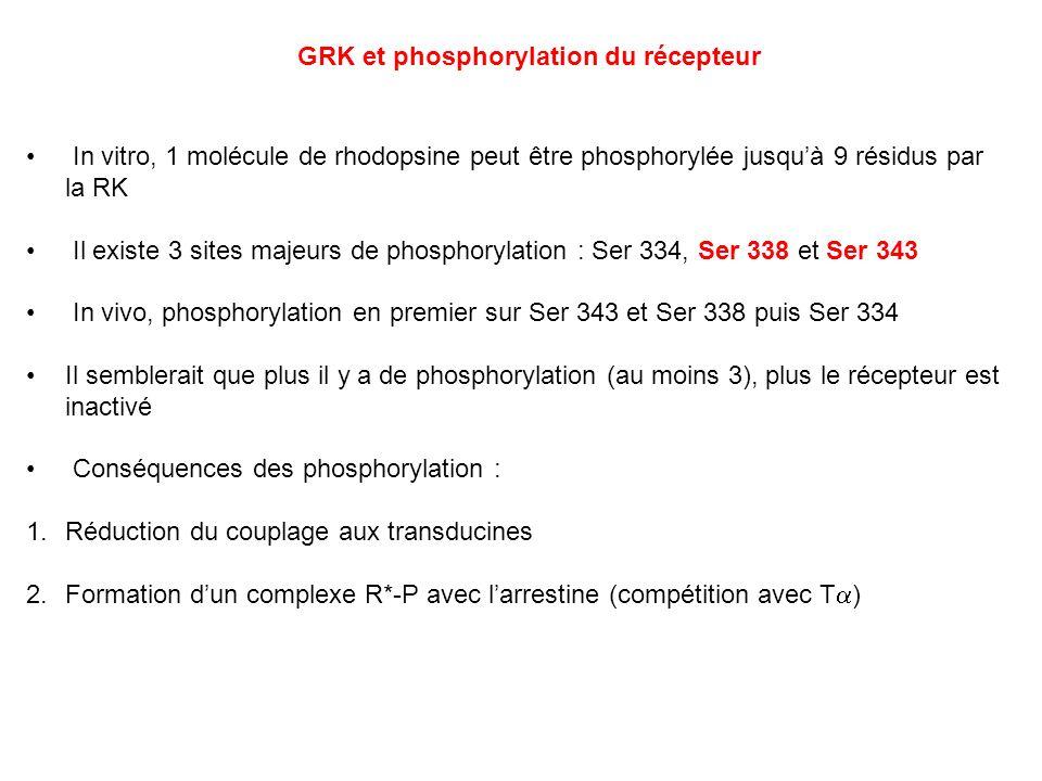 In vitro, 1 molécule de rhodopsine peut être phosphorylée jusquà 9 résidus par la RK Il existe 3 sites majeurs de phosphorylation : Ser 334, Ser 338 e