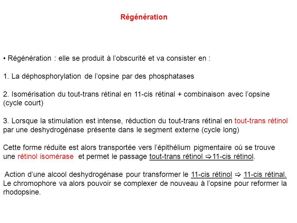 Régénération Régénération : elle se produit à lobscurité et va consister en : 1. La déphosphorylation de lopsine par des phosphatases 2. Isomérisation