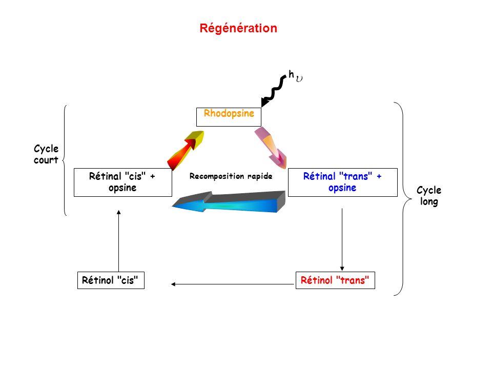Recomposition rapide Passage dans la circulation Rhodopsine h Rétinal