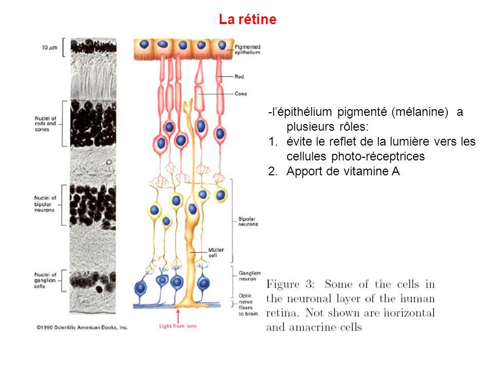 La rétine -lépithélium pigmenté (mélanine) a plusieurs rôles: 1.évite le reflet de la lumière vers les cellules photo-réceptrices 2.Apport de vitamine