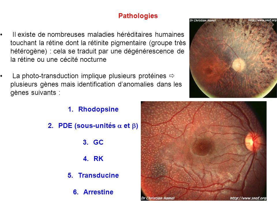 Pathologies Il existe de nombreuses maladies héréditaires humaines touchant la rétine dont la rétinite pigmentaire (groupe très hétérogène) : cela se