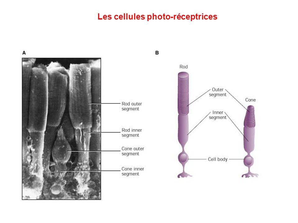 Les cellules photo-réceptrices