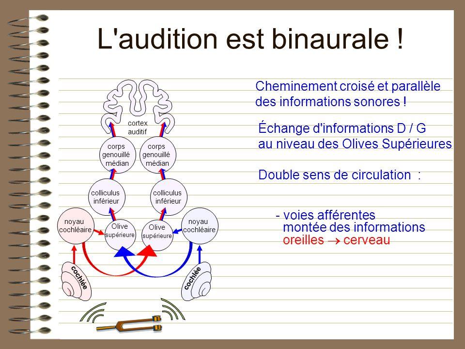 Échange d'informations D / G au niveau des Olives Supérieures Double sens de circulation : - voies afférentes montée des informations oreilles cerveau