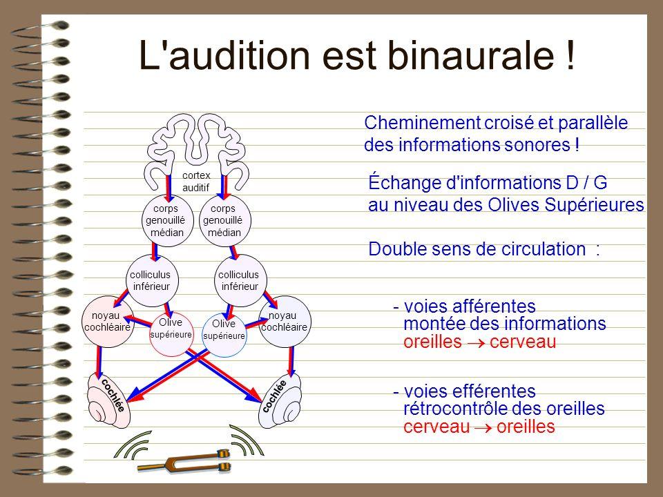 L'audition est binaurale ! cortex auditif cochlée Échange d'informations D / G au niveau des Olives Supérieures Double sens de circulation : - voies a