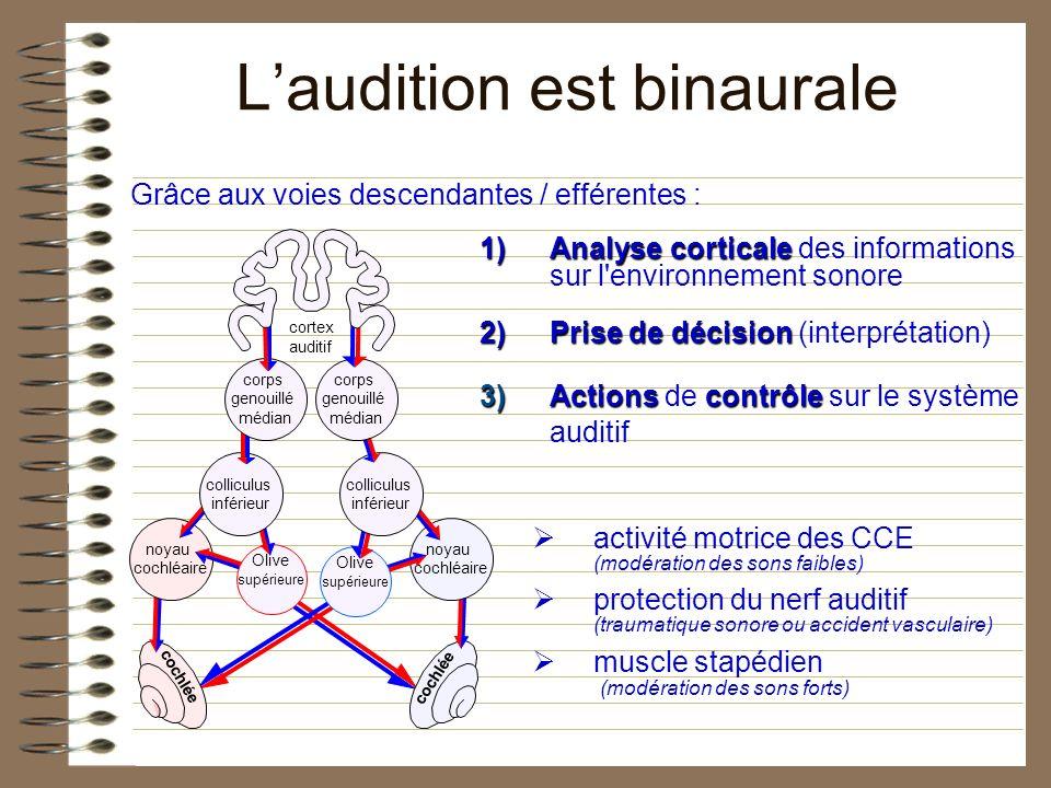 cortex auditif cochlée noyau cochléaire Olive supérieure colliculus inférieur corps genouillé médian Laudition est binaurale 1)Analysecorticale 1)Anal