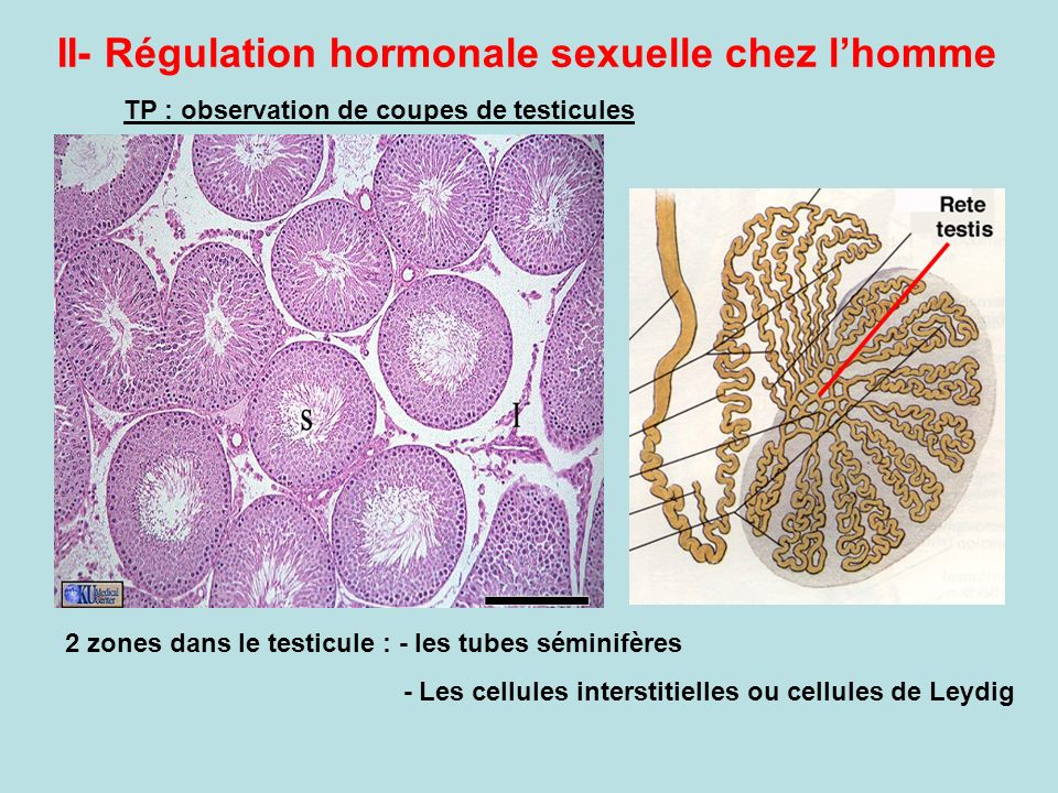II- Régulation hormonale sexuelle chez lhomme TP : observation de coupes de testicules 2 zones dans le testicule : - les tubes séminifères - Les cellu
