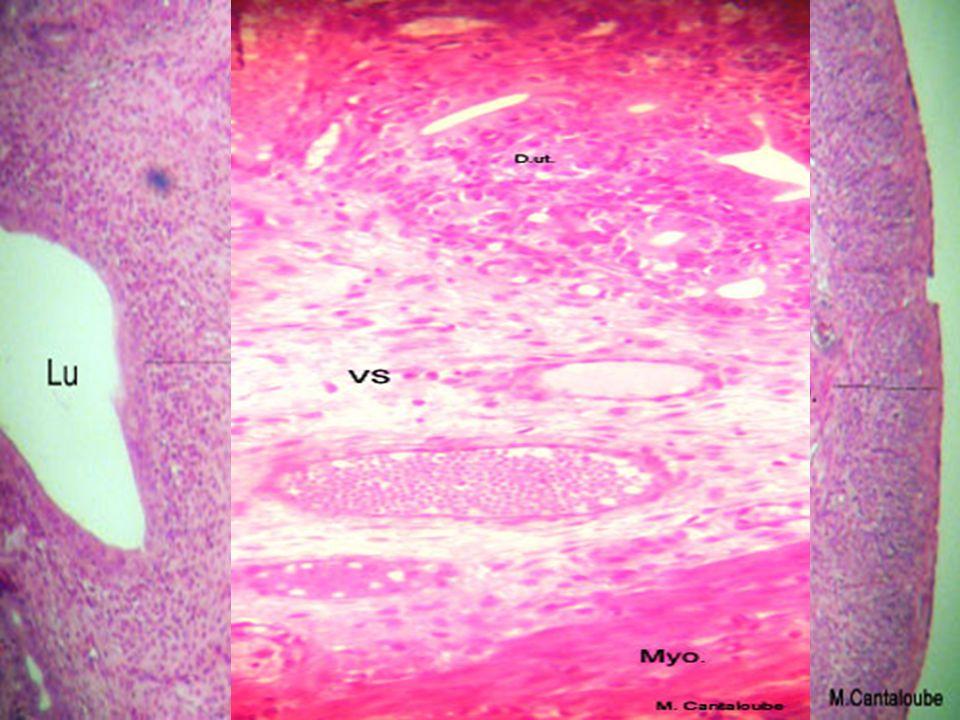Interprétation de ces observations Du jour 1 au jour 14 Du jour 14 au jour 28 Corps jaune follicules Phase folliculaire Phase lutéinique= phase lutéale ovulation