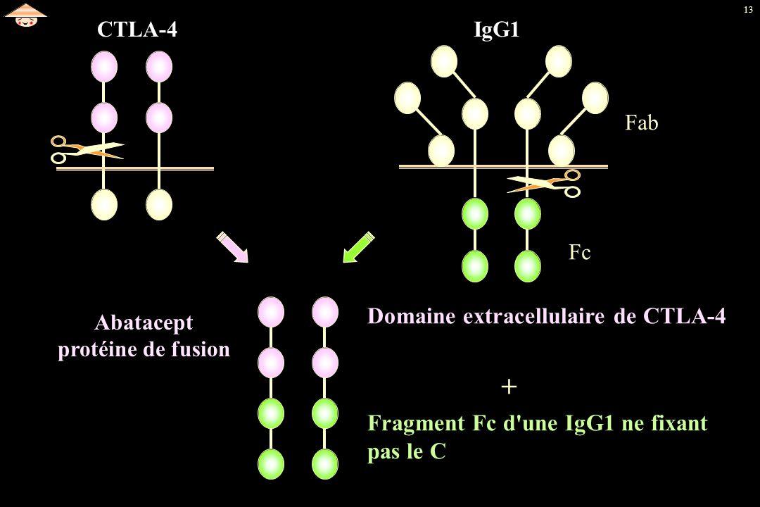 13 Fragment Fc d'une IgG1 ne fixant pas le C CTLA-4IgG1 Fab Fc Domaine extracellulaire de CTLA-4 + Abatacept protéine de fusion