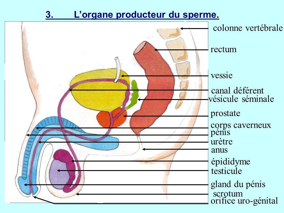 4.Le devenir des spermatozoïdes produits.