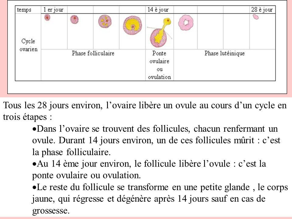 3.Lévolution de lutérus : le cycle utérin.