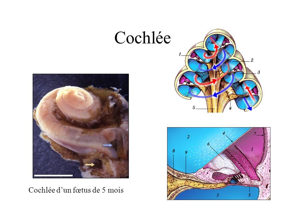 Cochlée Cochlée dun fœtus de 5 mois