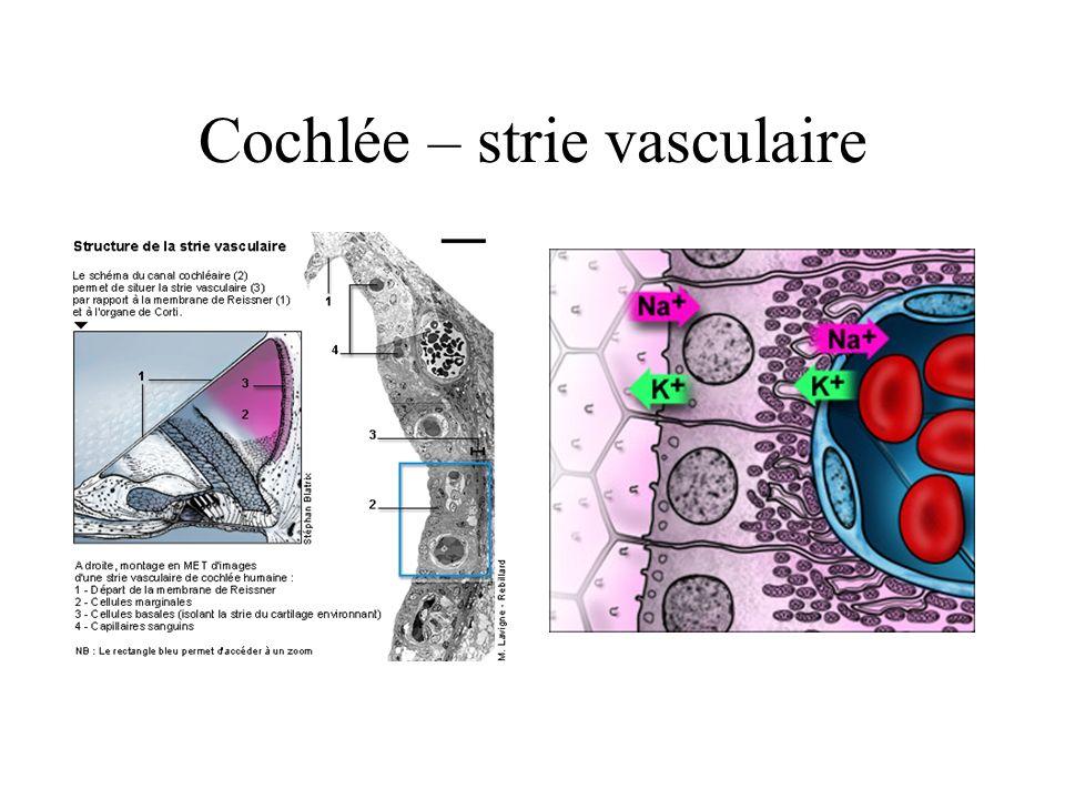 Cochlée – strie vasculaire