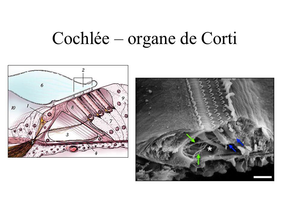 Cochlée – organe de Corti