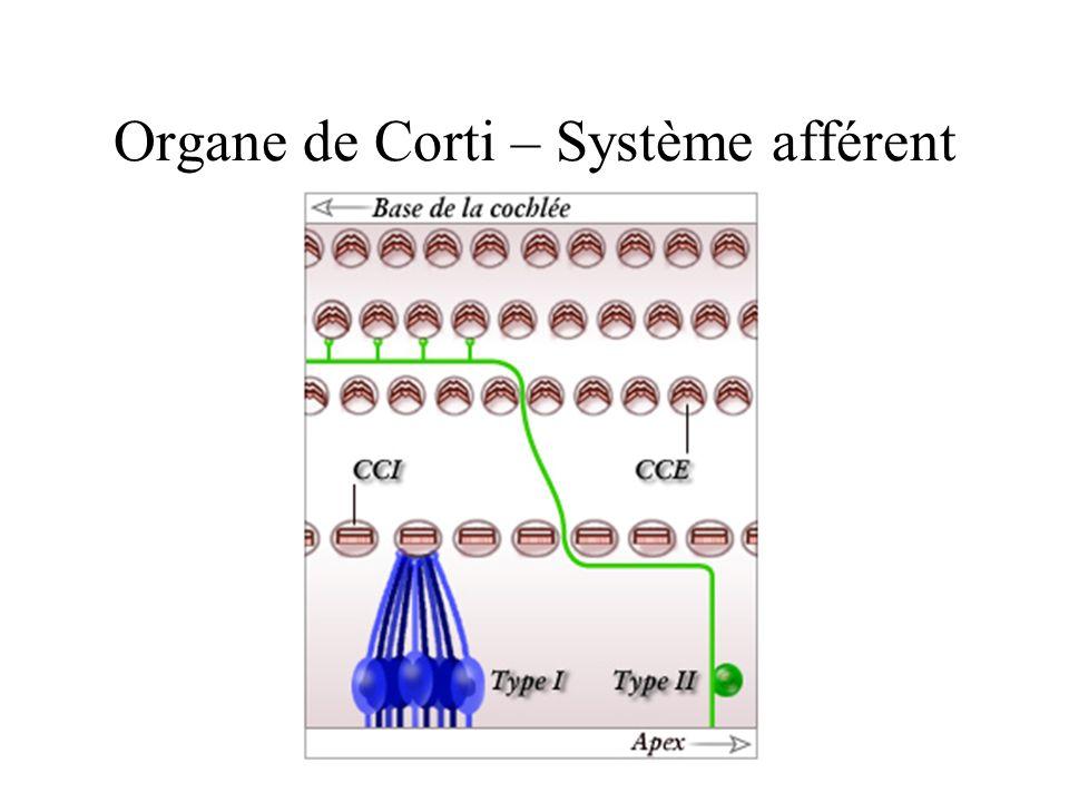 Organe de Corti – Système afférent
