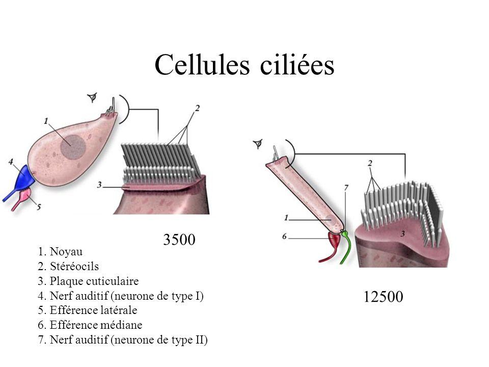Cellules ciliées 1. Noyau 2. Stéréocils 3. Plaque cuticulaire 4. Nerf auditif (neurone de type I) 5. Efférence latérale 6. Efférence médiane 7. Nerf a