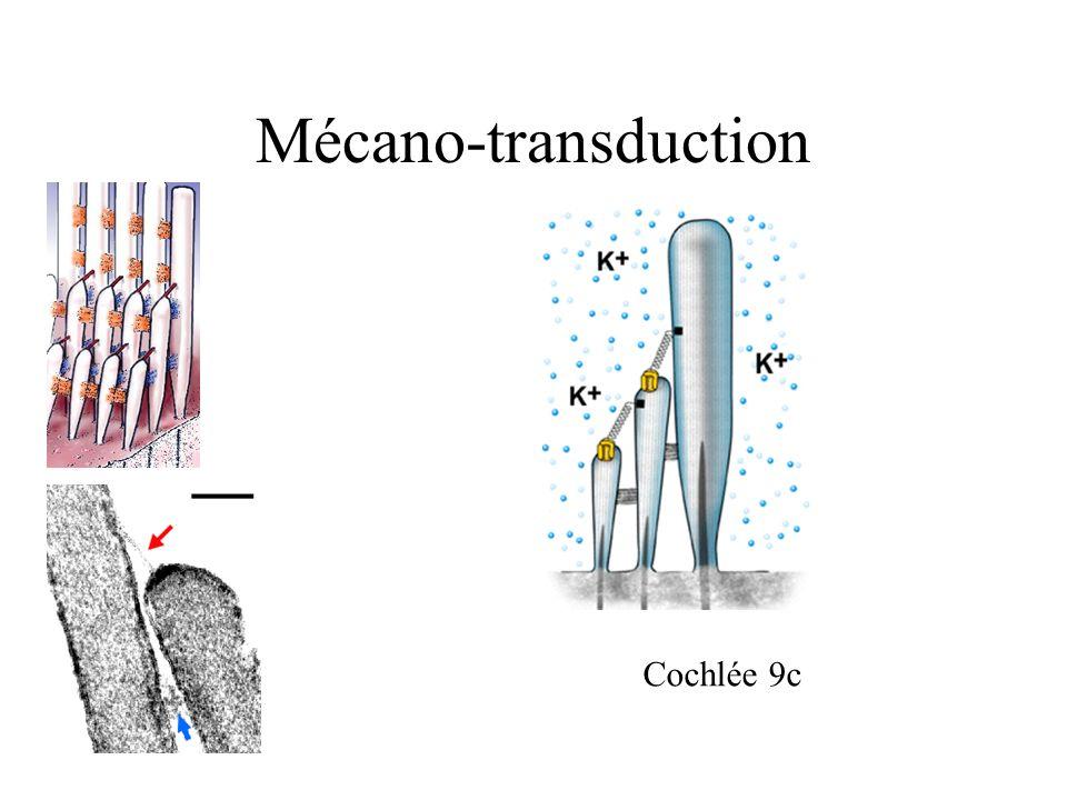 Mécano-transduction Cochlée 9c