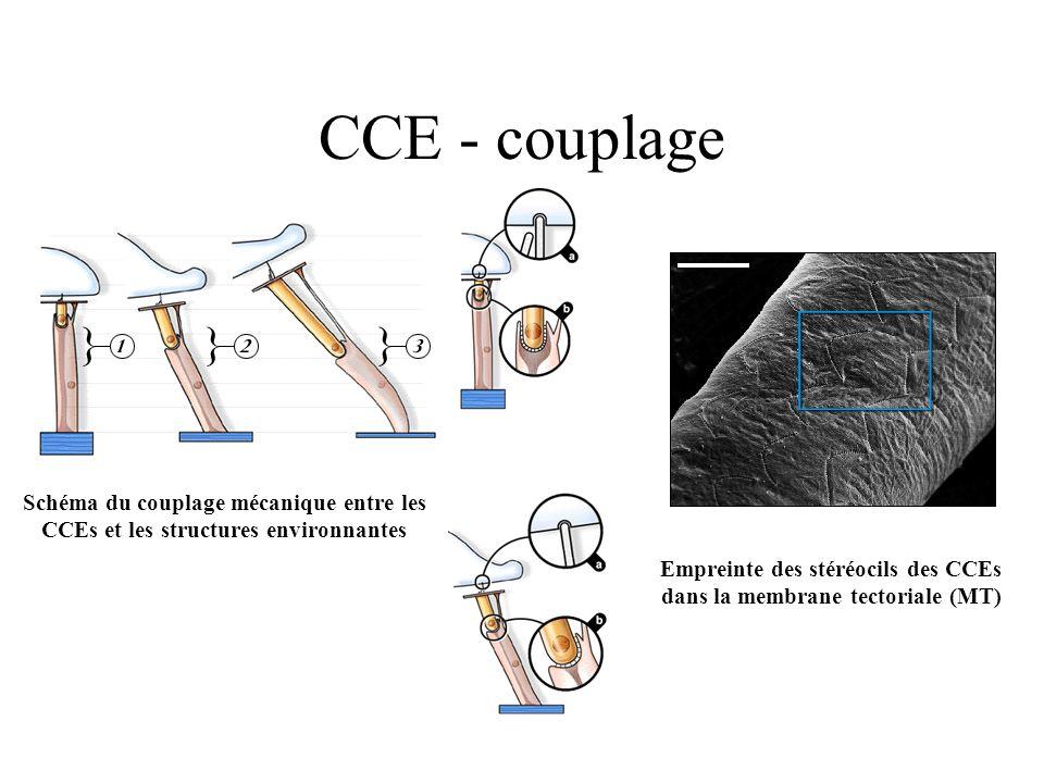 CCE - couplage Schéma du couplage mécanique entre les CCEs et les structures environnantes Empreinte des stéréocils des CCEs dans la membrane tectoria