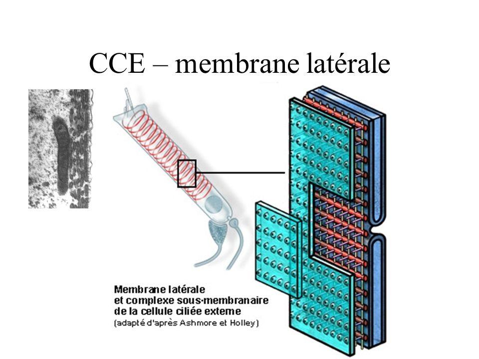 CCE – membrane latérale