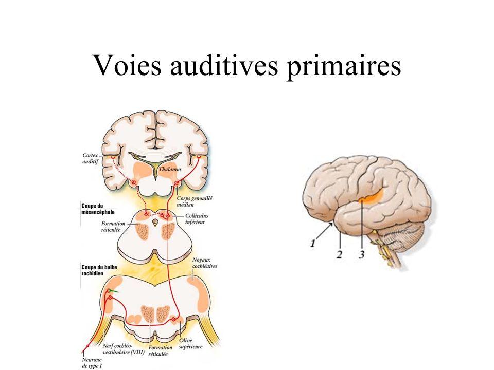 Voies auditives primaires
