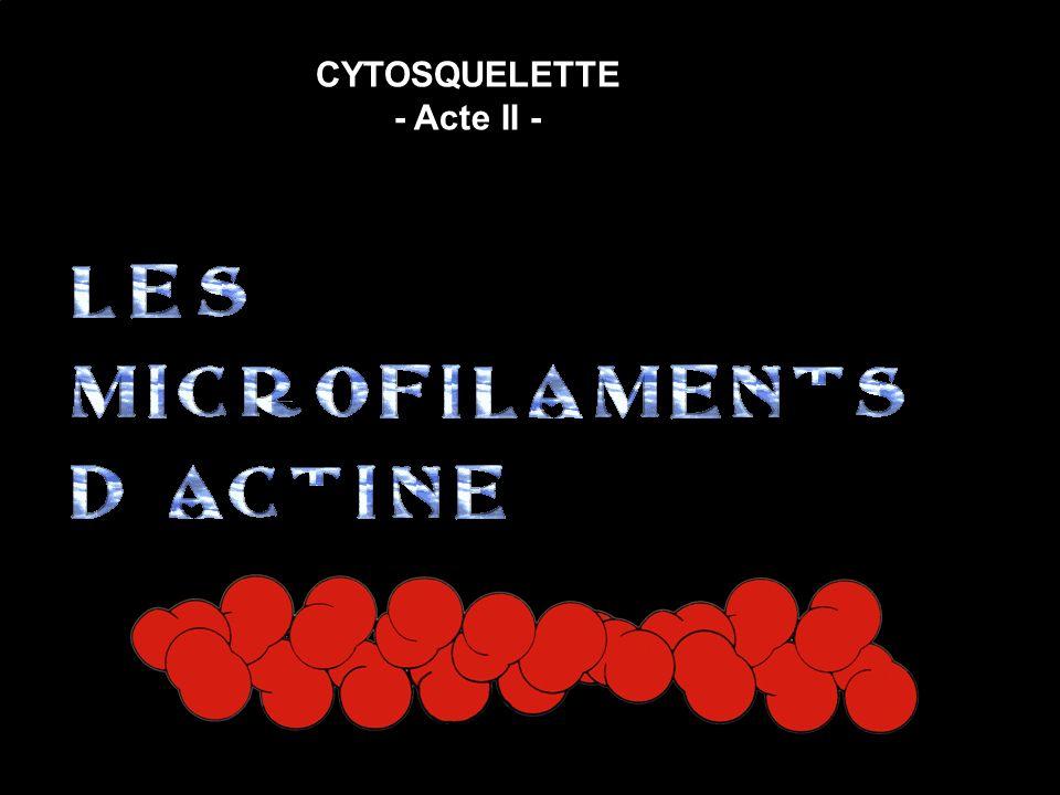 LES MICROFILAMENTS dACTINE 1 – RECONNAISSANCE 2 – MISE EN ÉVIDENCE 3 – CONSTANCE 4 – DÉFINITION 5 - MICROSCOPIE PHOTONIQUE 6 - MICROSCOPIE ÉLECTRONIQUE 7 - POLARISATION du MICROFILAMENT 8 - BIOCHIMIE de lACTINE 10 - PONTAGE DES MF DACTINE à LA MEMBRANE PLASMIQUE 11 - PROTÉINES MODIFIANT LES MICROFILAMENTS DACTINE 12 - LES PETITES PROTÉINES G 13 - MOUVEMENTS AMIBOÏDES 9 – PROTÉINES SE FIXANT à LACTINE 14 – APERCU de RÉGULATION