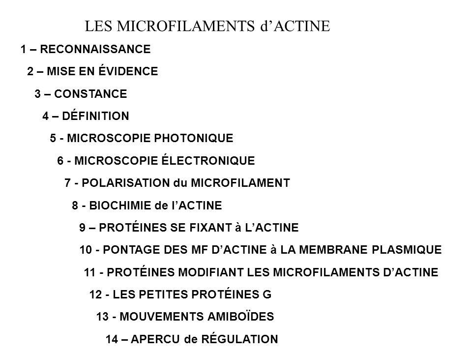 LES MICROFILAMENTS DACTINE 1 – RECONNAISSANCE : Dans les cellules musculaires : fin du XIXème siècle… Dans les autres cellules : M.E.