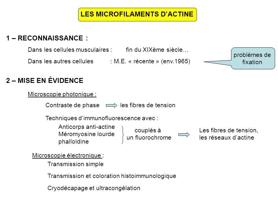 11 - PROTÉINES MODIFIANT LES MICROFILAMENTS DACTINE Profiline + Actine-ADPProfiline-Actine G-ATP ATP ADP Thymosine -actineACTINE G + thymosine Filamine Gelsolines actinines Filamine Gelsolines actinines POLYMÉRISANTES Si Ca ++ > 10 -7 M DÉPOLYMÉRISANTES Si Ca ++ < 10 -7 M ACTINE F Dépactine Actine G-ADP actinines (si Ca ++ > 10 -5 M) filamine fimbrine villine fascine TROUSSEAUX FAISCEAUX RÉSEAUX actinines (si Ca ++ < 10 -5 M)