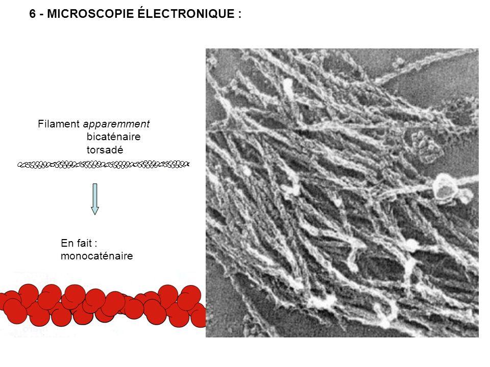 7 - POLARISATION du MICROFILAMENT : Conséquences : Equilibre dynamique des microfilaments fins: Stock cytoplasmique de monomères important Rotation des MF pouvant être très rapide Possibilité de déplacement (sur dautres structures, par treadmilling) Contrôle de la croissance ATP ADP Échange lent Mise en évidence par la méromyosine lourde