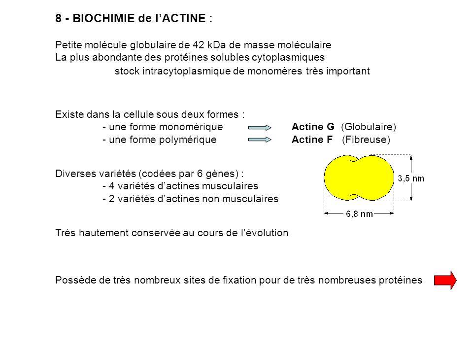 Protéines de « fonctions » : troponines, tropomyosines, léiotonines, myosines Protéines de liaison : actinines, Arp, taline, vinculine, protéines ERM, spectrine filamine, fimbrine Protéines de « modification structurale » : profilines, gelsolines, actinines, dépactines Protéines de séquestration : thymosine, profiline Protéines dorganisation : Filamine Fimbrine Villine, Fascine Spectrine Réseaux Faisceaux 9 – PROTÉINES SE FIXANT à LACTINE : Liste malheureusement non exhaustive….