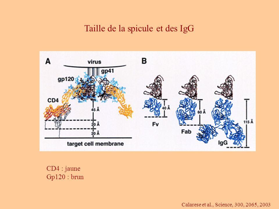 Calarese et al., Science, 300, 2065, 2003 CD4 : jaune Gp120 : brun Taille de la spicule et des IgG