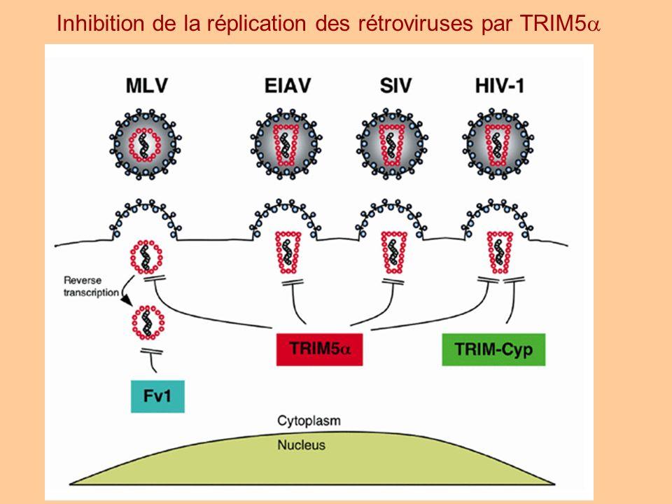 Inhibition de la réplication des rétroviruses par TRIM5