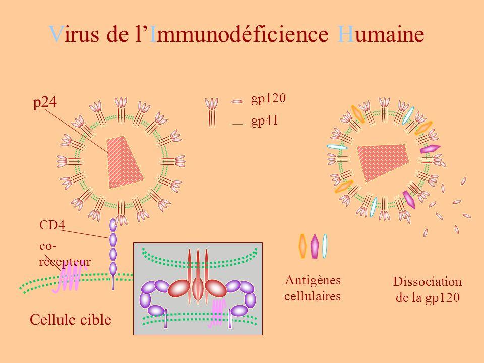 Dissociation de la gp120 Antigènes cellulaires CD4 co- récepteur Cellule cible gp120 gp41 Virus de lImmunodéficience Humaine p24