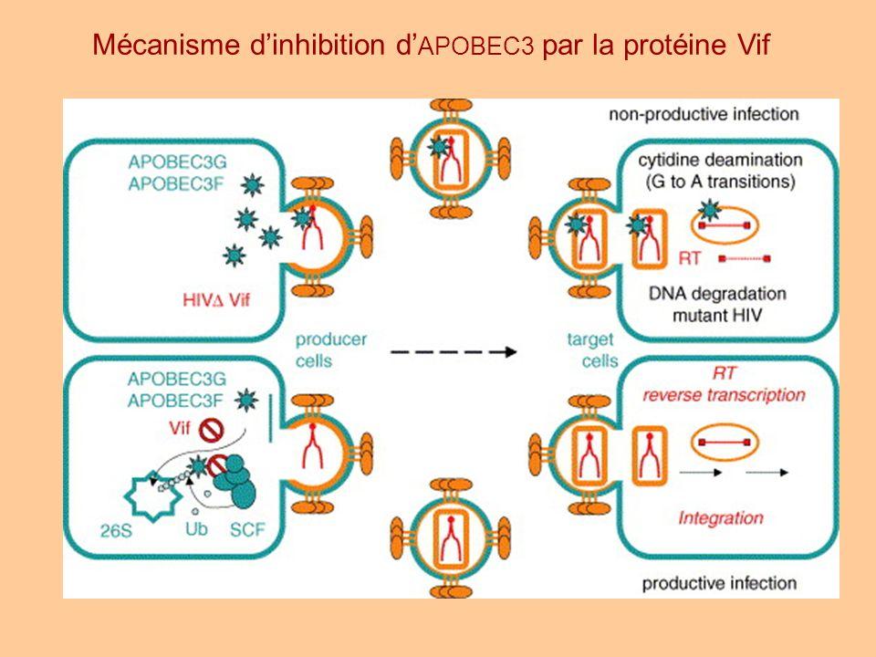 Mécanisme dinhibition d APOBEC3 par la protéine Vif