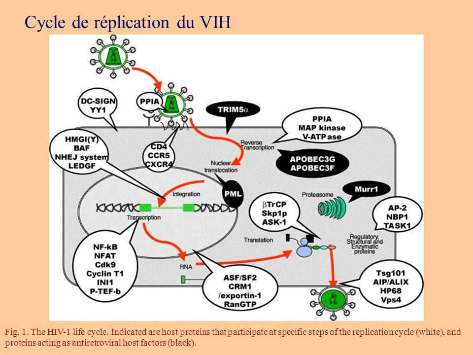 Fig. 1. The HIV-1 life cycle. Indicated are host proteins that participate at specific steps of the replication cycle (white), and proteins acting as