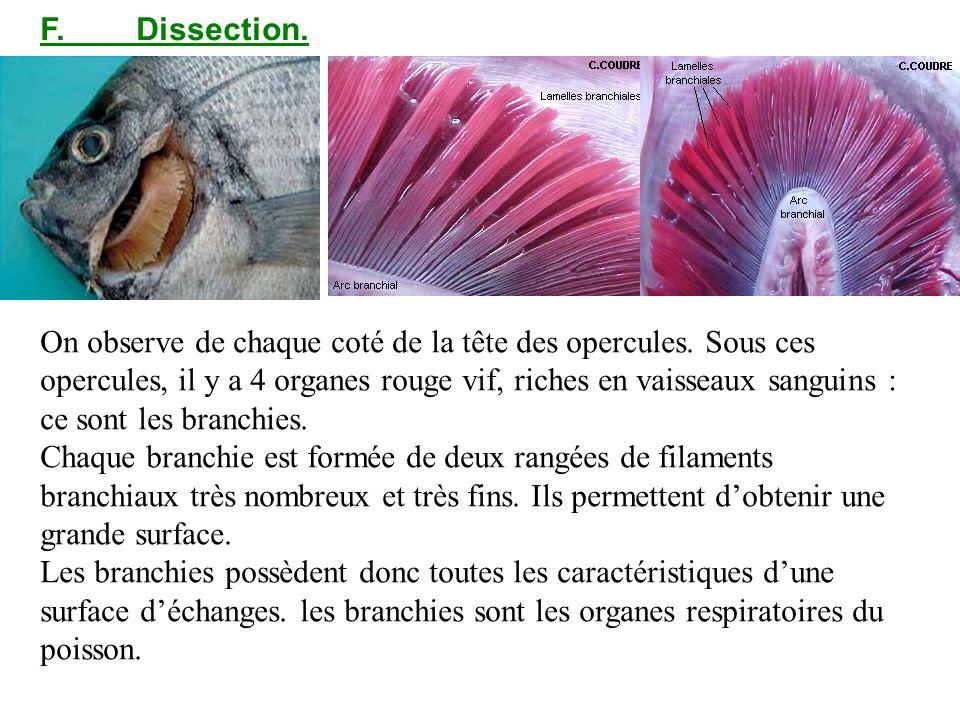 F.Dissection. On observe de chaque coté de la tête des opercules. Sous ces opercules, il y a 4 organes rouge vif, riches en vaisseaux sanguins : ce so