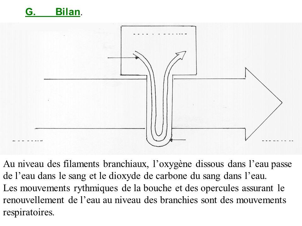 G.Bilan. Au niveau des filaments branchiaux, loxygène dissous dans leau passe de leau dans le sang et le dioxyde de carbone du sang dans leau. Les mou