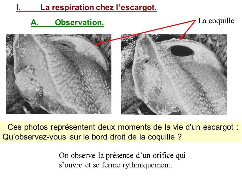 I.La respiration chez lescargot. A.Observation. Ces photos représentent deux moments de la vie dun escargot : Quobservez-vous sur le bord droit de la