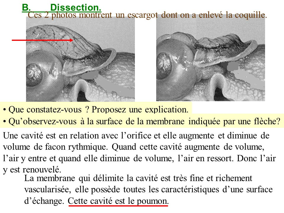B.Dissection. Ces 2 photos montrent un escargot dont on a enlevé la coquille. Que constatez-vous ? Proposez une explication. Quobservez-vous à la surf