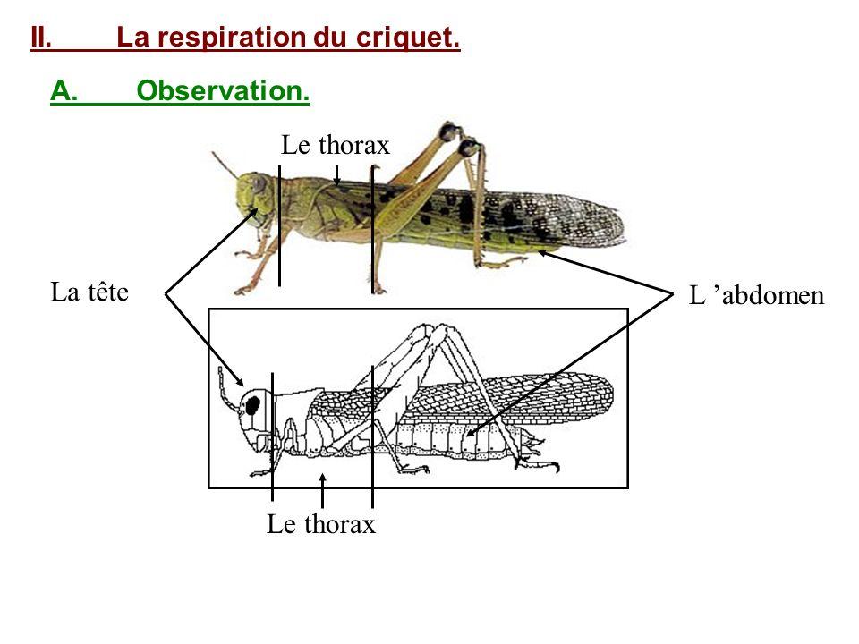 II.La respiration du criquet. A.Observation. La tête Le thorax L abdomen Le thorax