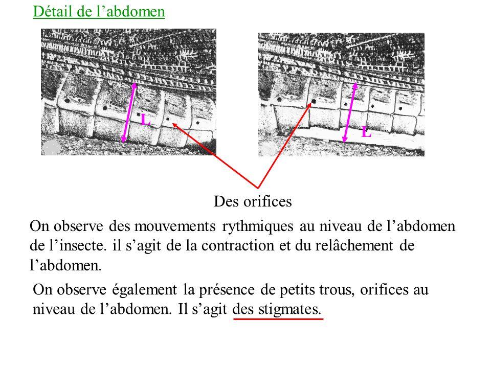 Détail de labdomen On observe des mouvements rythmiques au niveau de labdomen de linsecte. il sagit de la contraction et du relâchement de labdomen. D