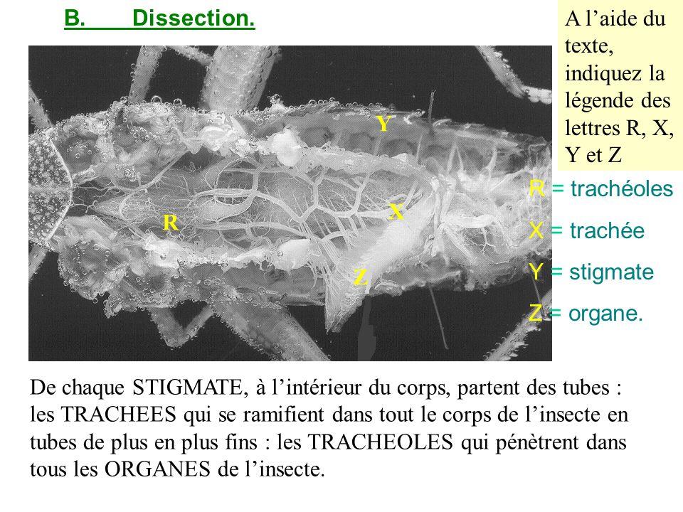 B.Dissection. De chaque STIGMATE, à lintérieur du corps, partent des tubes : les TRACHEES qui se ramifient dans tout le corps de linsecte en tubes de