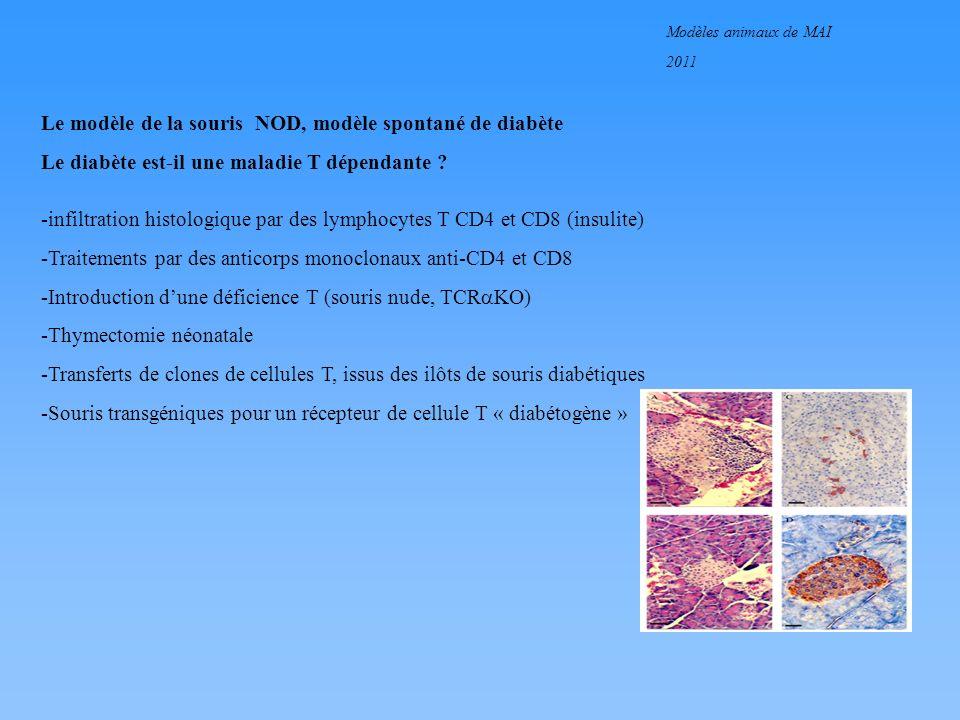 Modèles animaux de MAI 2011 Le modèle de la souris NOD, modèle spontané de diabète Le diabète est-il une maladie T dépendante ? -infiltration histolog