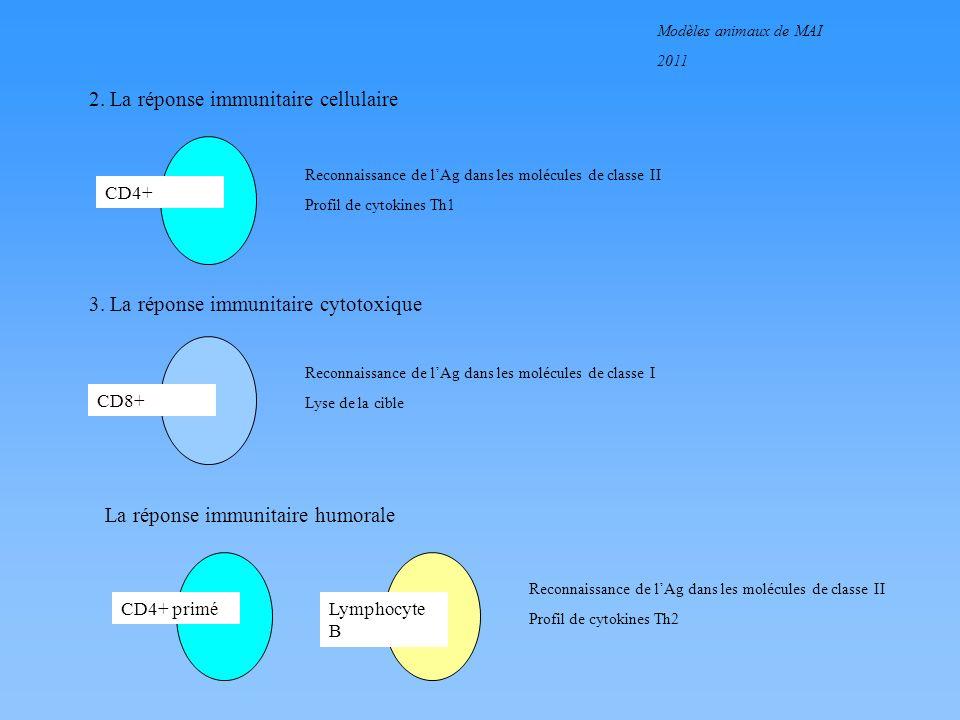 Modèles animaux de MAI 2011 2. La réponse immunitaire cellulaire CD4+ Reconnaissance de lAg dans les molécules de classe II Profil de cytokines Th1 3.