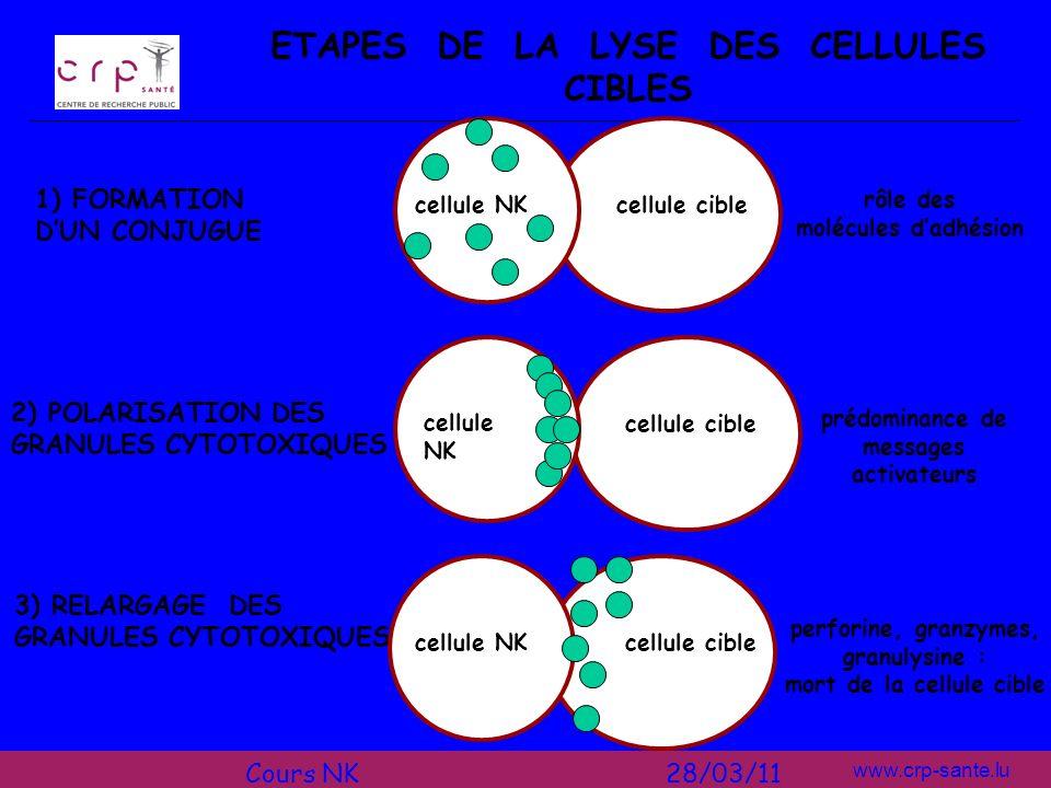 www.crp-sante.lu LA PRODUCTION DE CYTOKINES après contact avec dautres cellules [cellules dendritiques (CD), cellules cibles] ou stimulation par des cytokines, les cellules NK produisent et sécrètent elles-mêmes de nombreuses cytokines: IFN- avant tout mais aussi: IL-3, -5, -8, -10, -13 TNF-, lymphotoxines, TGF-, GM-CSF types et quantités des cytokines produites dépendent: des conditions de stimulation des cytokines présentes dans lenvironnement de létat dactivation des cellules NK pour une production optimale, il faut certaines combinaisons de cytokines activatrices, p.ex.: IL-12 + IL-18 pour une production maximale dIFN- IL-12 + IL-15 pour lIL-10 IL-15 + IL-18 pour lIL-13 et le GM-CSF Cours NK 28/03/11