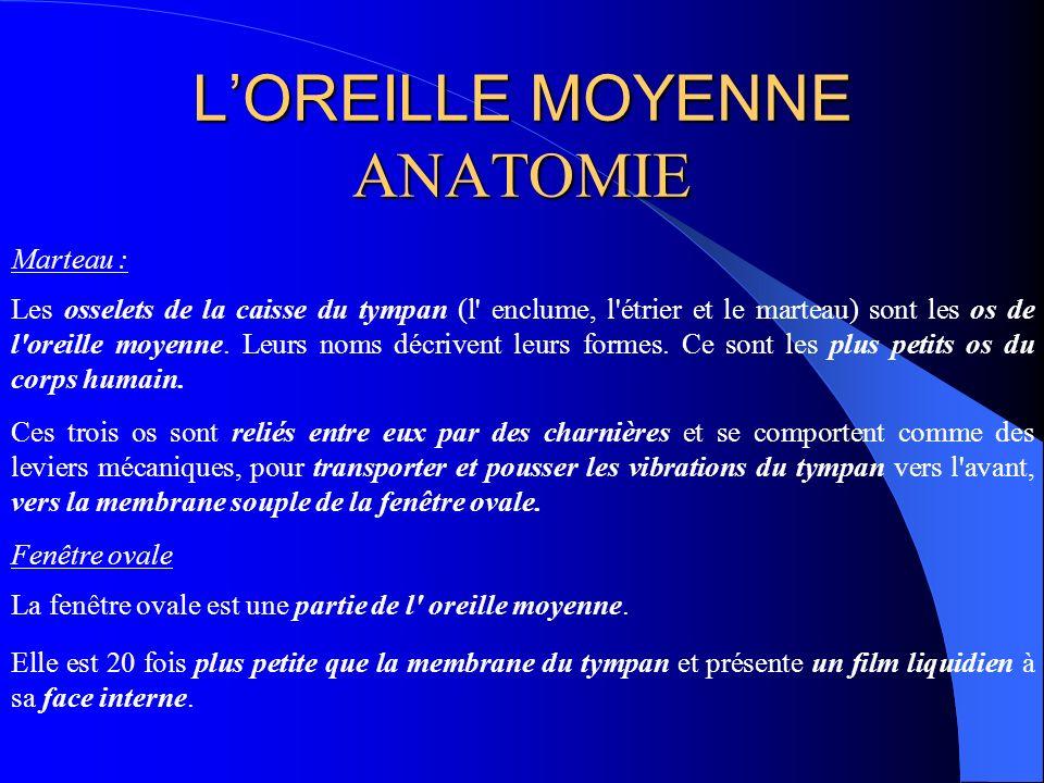 LOREILLE MOYENNE ANATOMIE Marteau : Les osselets de la caisse du tympan (l' enclume, l'étrier et le marteau) sont les os de l'oreille moyenne. Leurs n