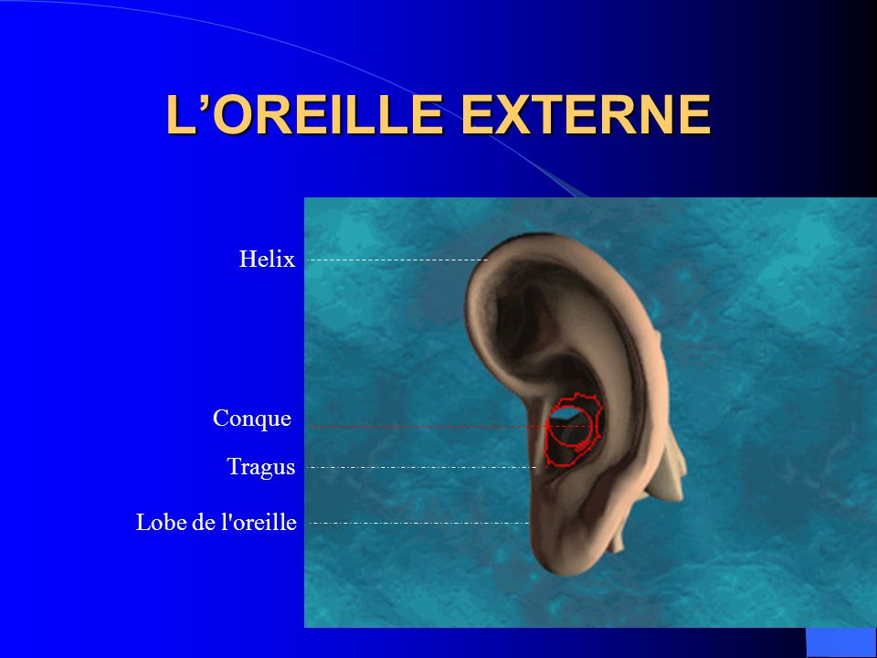 LOREILLE EXTERNE Conque Helix Lobe de l'oreille Tragus