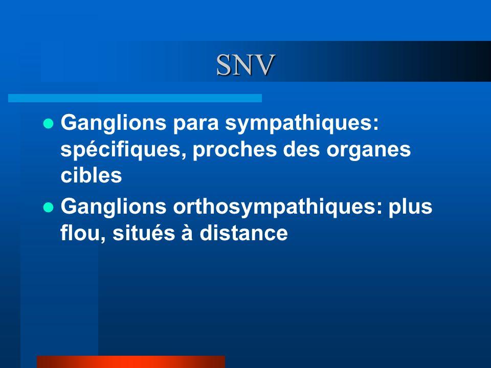 SNV Ganglions para sympathiques: spécifiques, proches des organes cibles Ganglions orthosympathiques: plus flou, situés à distance