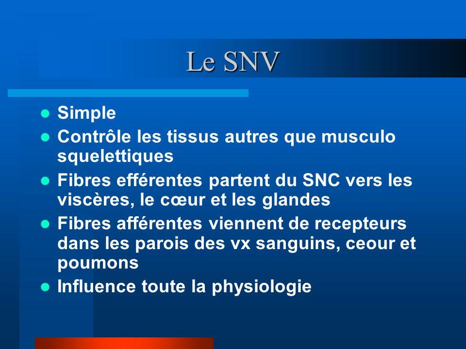 Le SNV Simple Contrôle les tissus autres que musculo squelettiques Fibres efférentes partent du SNC vers les viscères, le cœur et les glandes Fibres a