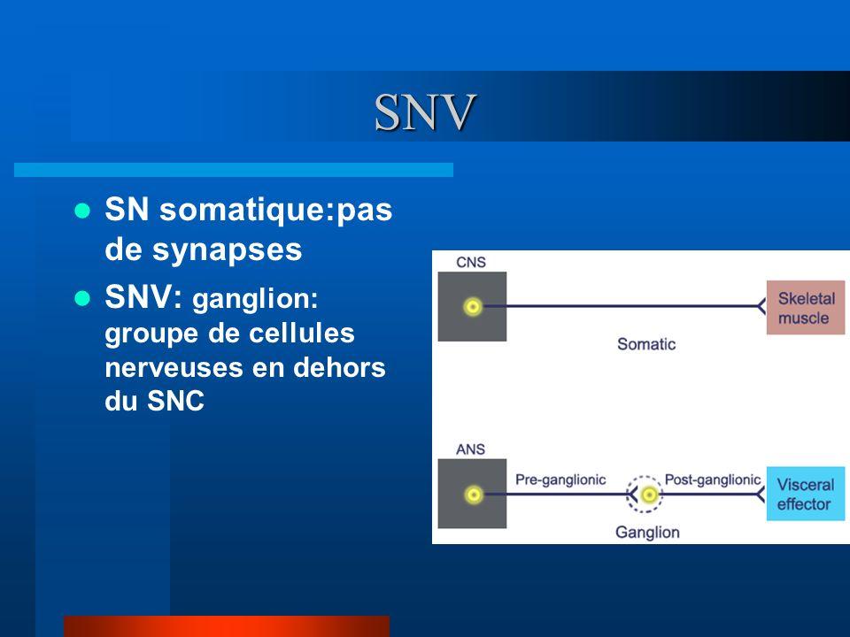 SNV SN somatique:pas de synapses SNV: ganglion: groupe de cellules nerveuses en dehors du SNC